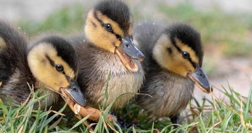 拍新生小鴨發現「牠撿這個來吃」 攝影師淚:人類對不起你們