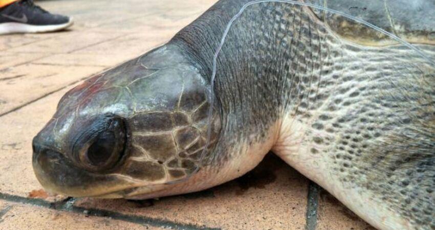 花蓮欖蠵龜嘴卡魚鉤 海巡救起送台大獸醫系接續治療