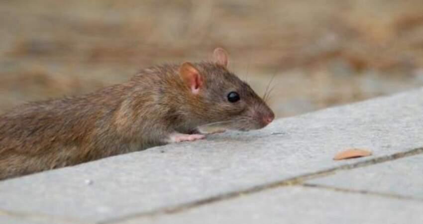 老鼠又來亂!漢他病毒今年確診已4例創5年來新高