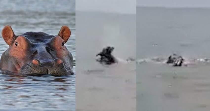 男孩被河馬拖入水中殺害目擊者拍下驚悚一幕