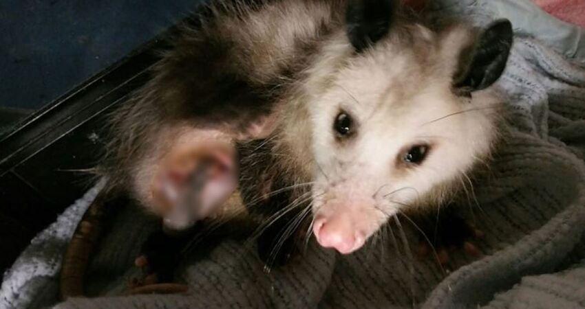 奄奄一息負鼠「倒人類門廊求助」 志工目擊牠袋子裡「滿滿都是命」秒懂原因!