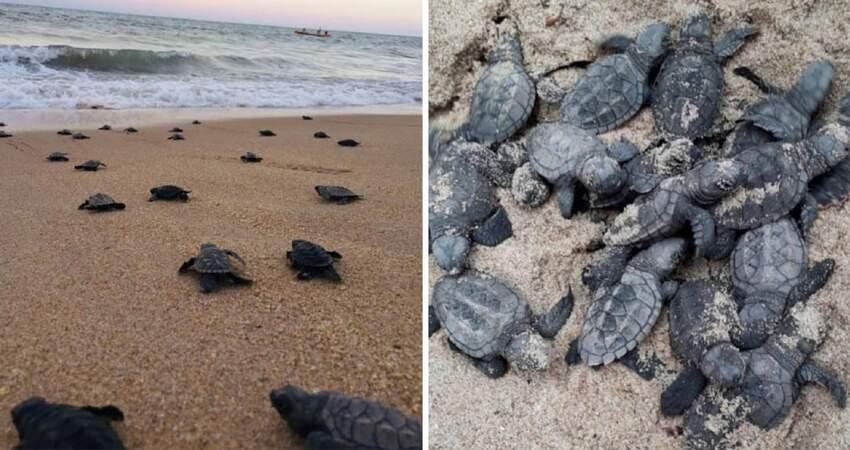 第一次這麼順利!巴西海岸因疫情沒有遊客 97隻罕見海龜成功孵化奔向大海