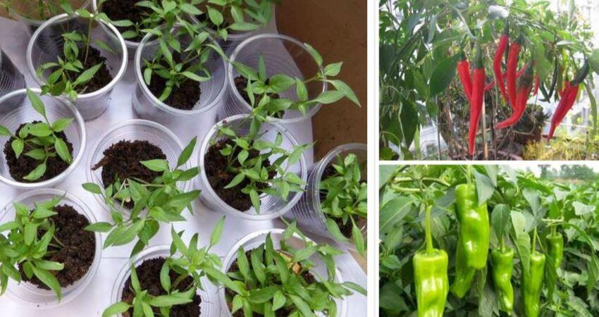家裡種辣椒,長葉子不結果,有3個「方法」,結果多,一個挨一個