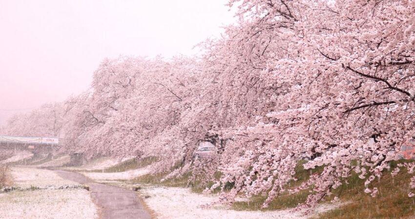 日本關東4月超反常落雪! 推特狂曬罕見「雪櫻奇景」如置身夢境