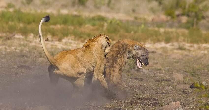 落單母獅遭20隻鬣狗殘忍吞沒下秒奇蹟扭轉命運