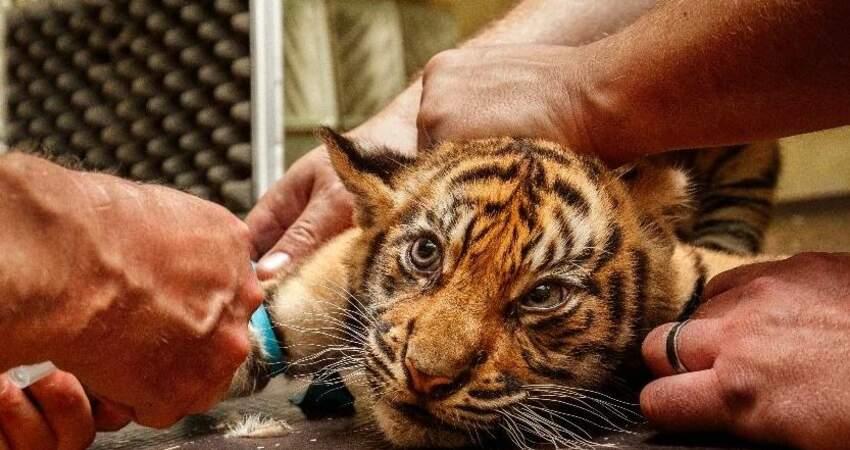 奧克蘭動物園開打疫苗! 獅、虎、雪貂搶頭香
