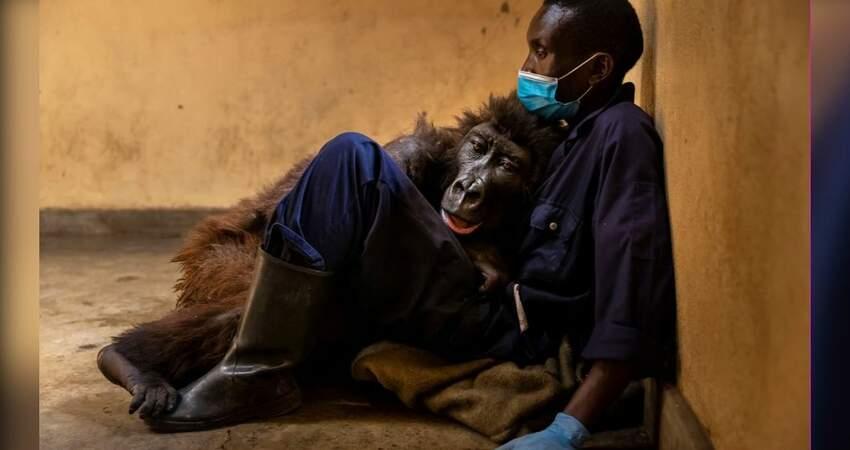 鼻酸!全球最會自拍大猩猩病逝 保育員懷中嚥最後一口氣