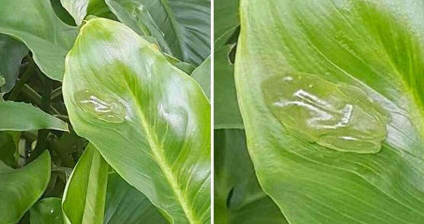 差點看不見!葉子上趴「透明果凍蛙」 湊近還能看到跳動心臟~