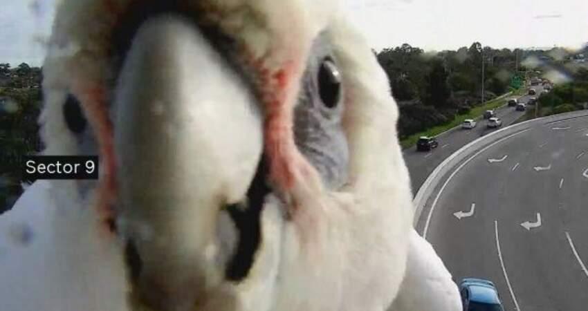 這年頭連鳥都想紅?澳洲鳳頭鸚鵡亂入高速公路監視器,擋鏡頭瘋狂起舞:鏡頭照我!偶比較可愛啦!