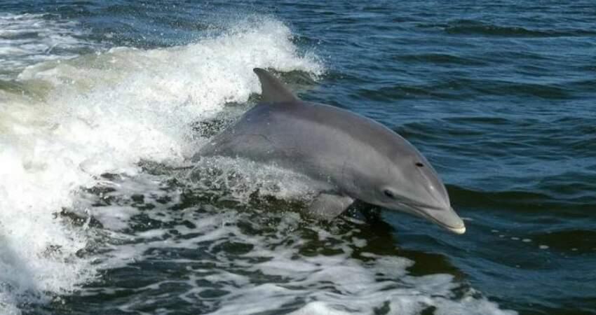 男子海泳游太遠失溫虛脫「一群海豚護送」他回到岸邊獲救