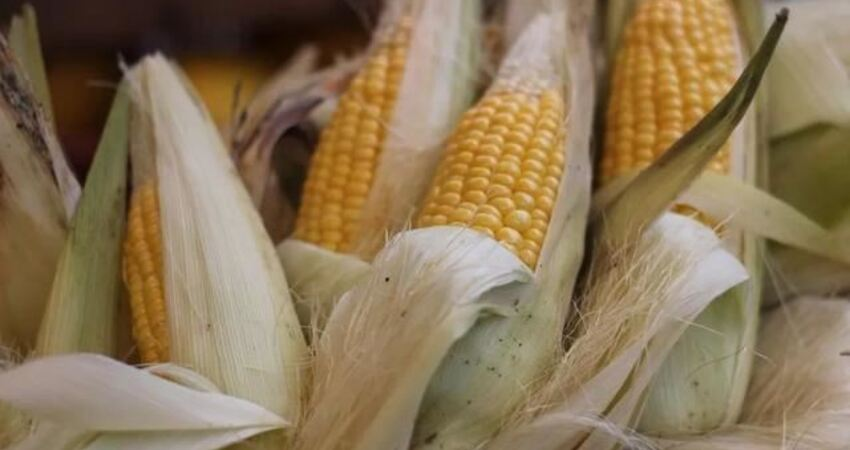 實用|一根玉米須「二兩金」,老中醫都用它入藥,功效強大,你還天天扔