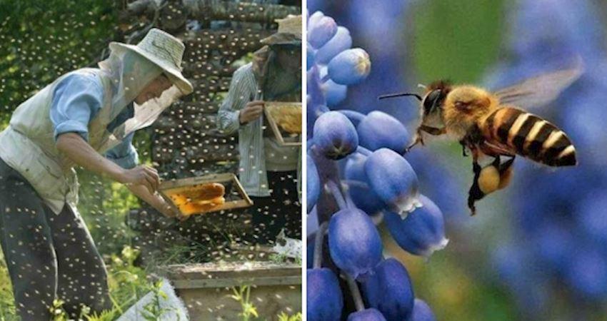 沒有蜜蜂人類不能活? 研究發現:牠們是世界上最重要的昆蟲!