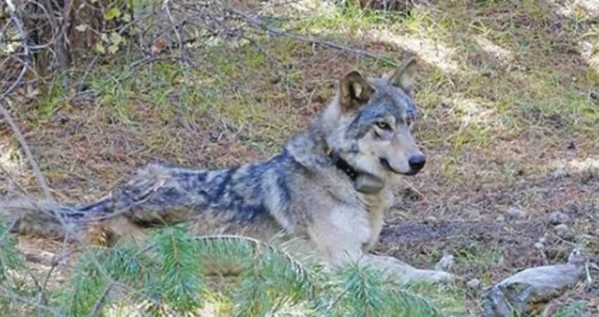 幫QQ…灰狼徒步1400多公裡「尋愛失敗」 2年後躺地上一動也不動了