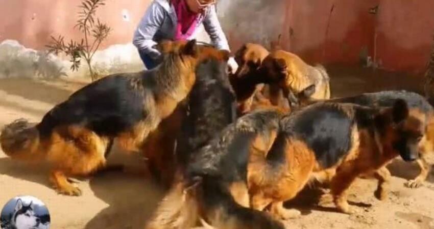 妹子在院內養了9只德牧,餵飯時被團團圍住,這家很安全了