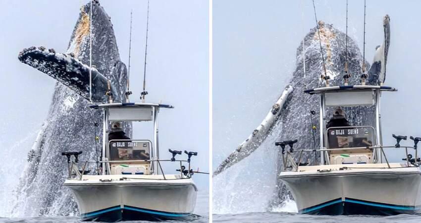 也太近!出海賞鯨遇「座頭鯨飛越出海」 咫尺巨獸嚇到漁夫:差點翻船