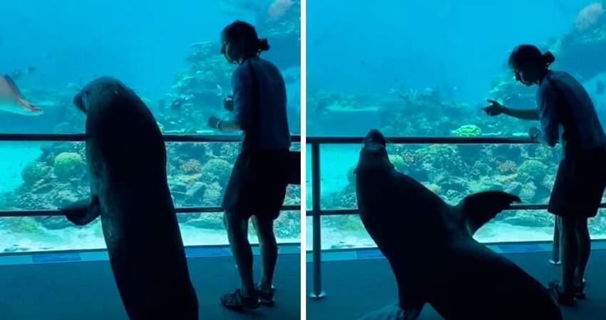 輪到海獅參觀了! 澳洲水族館封館 海獅「出籠散步」拜訪同事:尼們好呀~