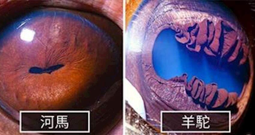 美國攝影師捕捉到30張「超近距離動物瞳孔」,哈士奇深藏藍色黑洞!