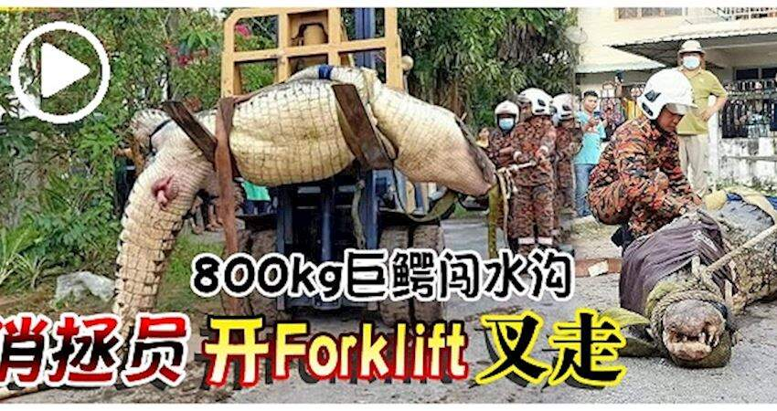 800kg巨鱷闖水溝消拯員開Forklift叉走