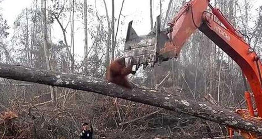 最悲慘畫面!紅毛猩猩為保家園奮身阻擋挖土機