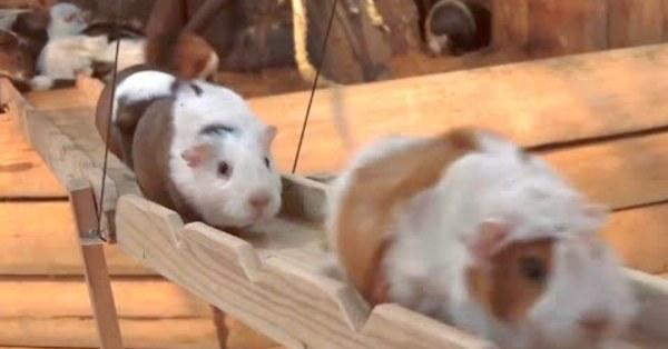 「圓滾滾」天竺鼠橋點燃網友的一天 大讚:「史上最療癒的屁股!」