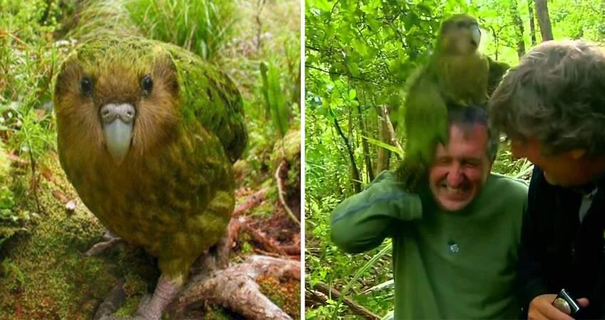 世界只剩18隻…呆鸚鵡遇敵「只敢裝木頭」 終靠「跳上人類的頭」免於絕種