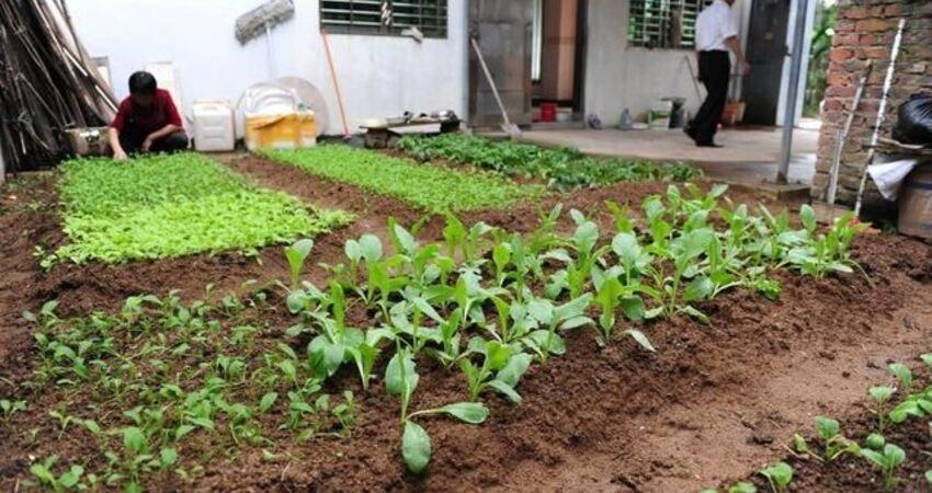 蔬菜播種前都需要怎樣處理才能出全苗?