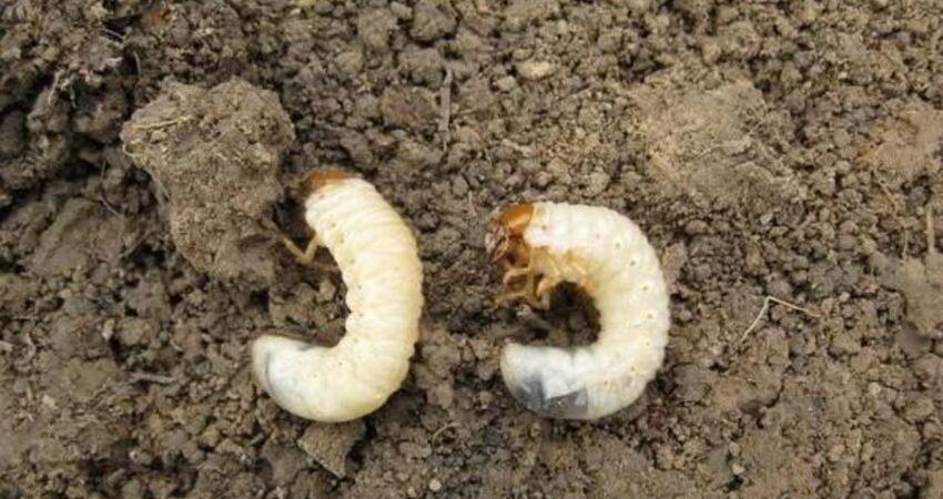 殺滅地下害蟲、這裡有10種絕招