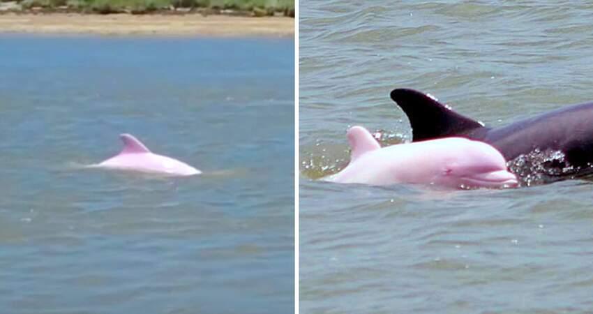 相隔12年! 夢幻「粉紅海豚」驚喜現身 旁邊跟著「Q萌迷你版」:一家大小都來了~