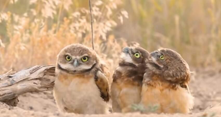 你沒事吧?! 貓頭鷹「背上插樹枝」同伴全看傻:要不要幫你拔下來?