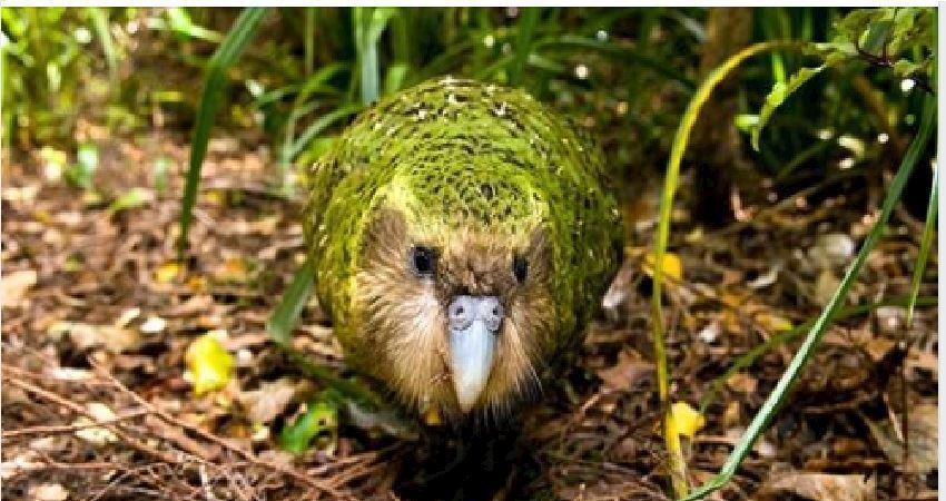 生氣只敢「用小手手拍頭」嚇人! 紐西蘭大蔥鴨被網嘆:太蠢萌才快絕種