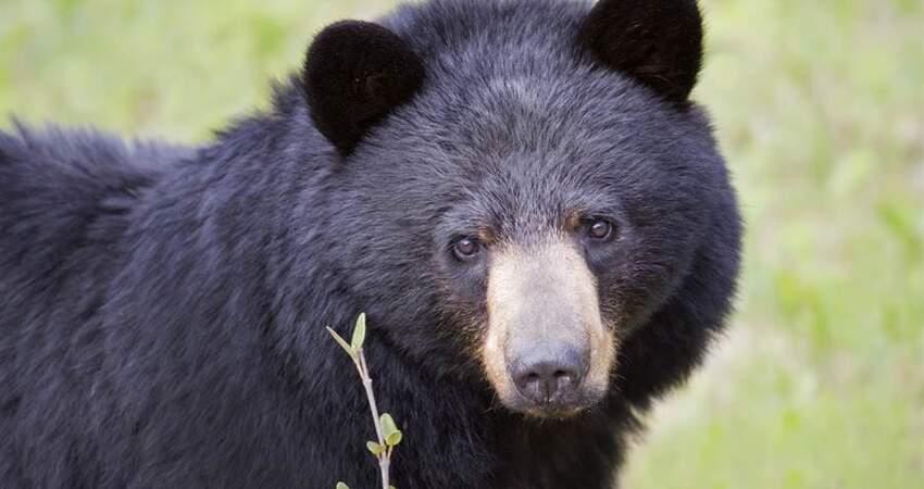 野生大黑熊突靠近!5人1熊淡定同桌還抹花生醬餵牠吃
