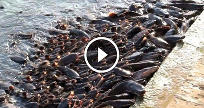 印度的鯰魚泛濫成災,找中國吃貨幫忙也不肯吃!