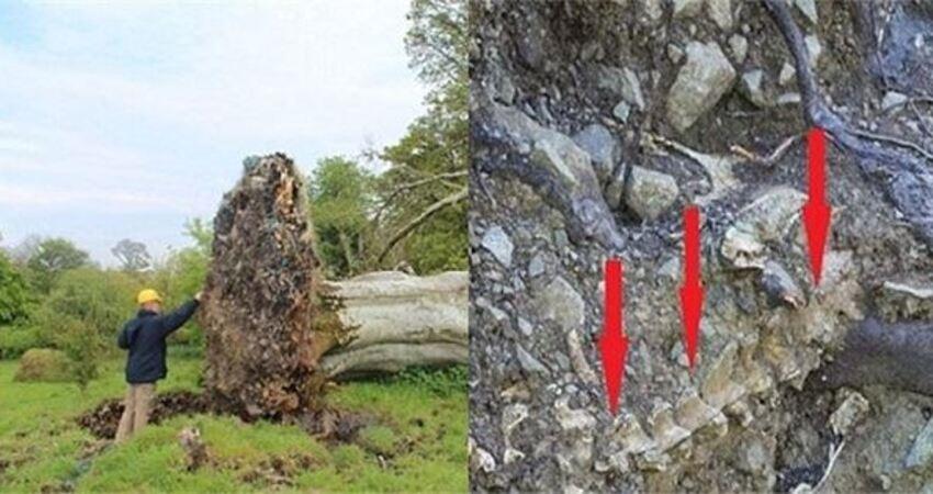 500年的樹被勁風連根拔起,在樹根部竟然被專家發現驚人的事!