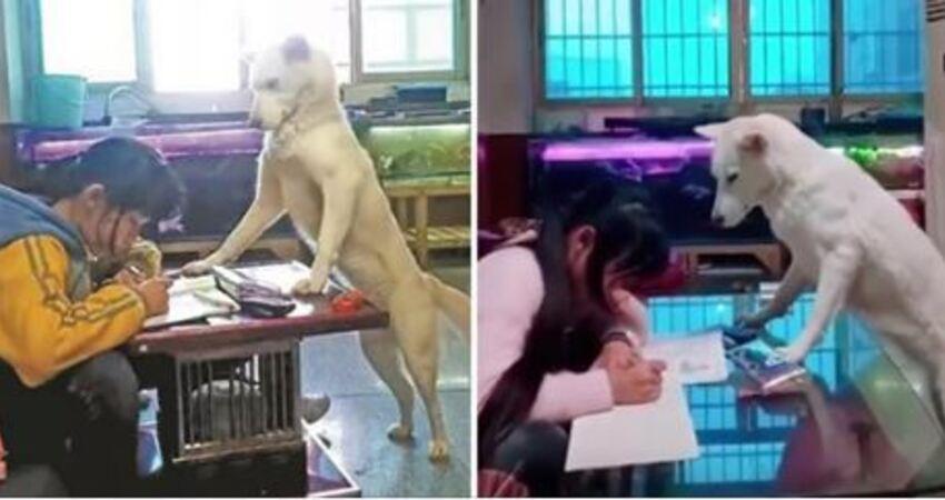 主人訓練愛犬「幫忙盯女兒寫作業」 汪星人一臉認真:快點寫完它啦