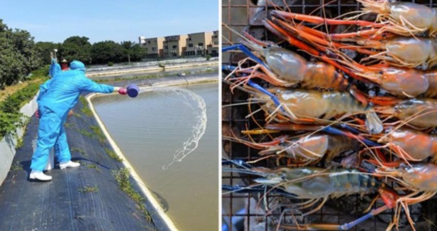 勿生食蝦!全台7縣市中「甲殼類病毒」 1200多斤澳洲螯蝦全數掩埋