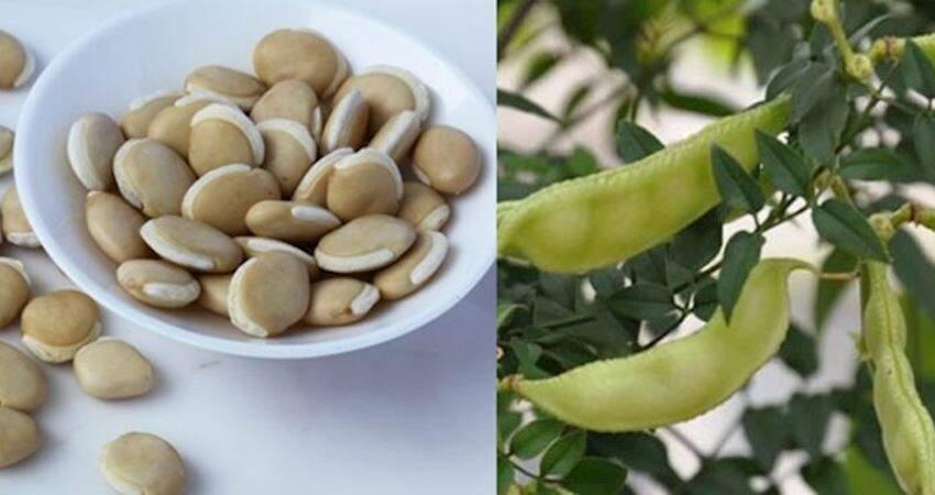 研究:白扁豆萃取蛋白可抑制新冠病毒感染