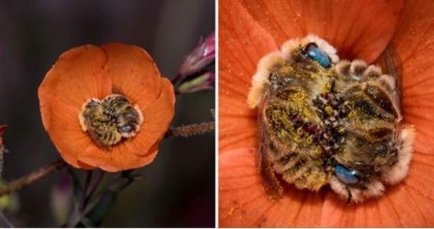 勤勞的蜜蜂也要請假~ 攝影師拍到罕見「蜜蜂互相抱著入睡」萌照