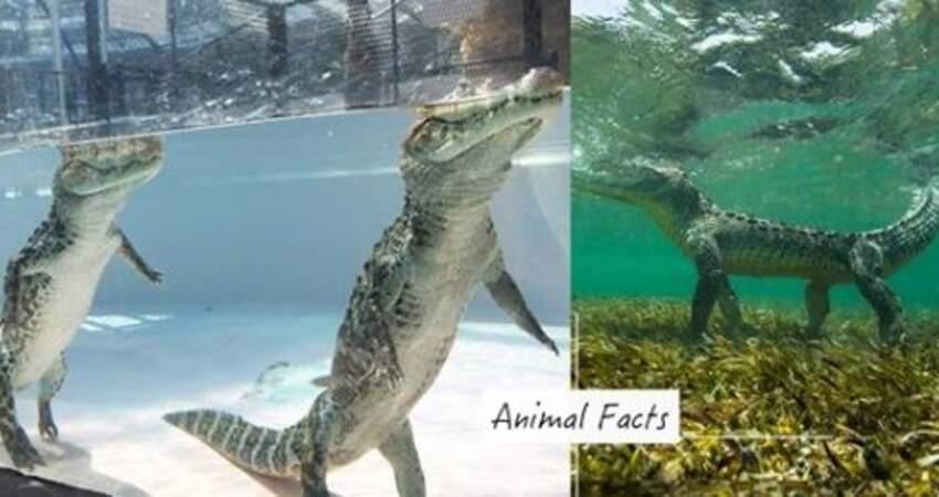 鱷魚不游泳而是「水底站著走」 4個「動物幽默冷知識」網友笑了:你們的形象呢~