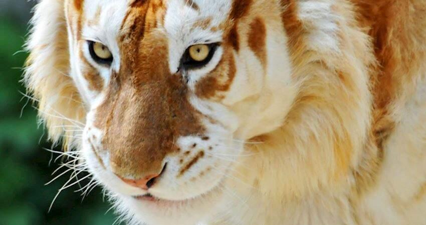 金色老虎太帥了! 17張「讓人嘖嘖稱奇」的神奇照片:從來沒看過這景象
