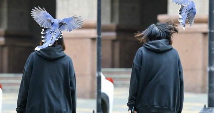 台灣藍鵲校園滿天飛!文大生被「狂巴頭」:被國寶打,頭都鑲金了