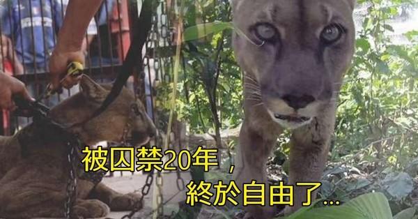 被馬戲團關在生鏽籠子20年 連吃都吃不飽還要被逼上場表演的山獅終於獲救... 第一次踏上草地的模樣...讓人好想哭... 被馬戲團關在生鏽籠子20年 連吃都吃不飽還要被逼上場表演的山獅終於獲救... 第一次踏上草地的模樣...讓人好想哭...
