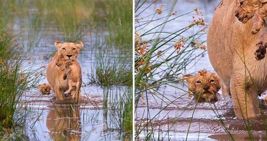 真的是親生的? 獅媽叼小獅子過河畫面超暖 網友眼尖發現亮點:馬麻等等我QAQ