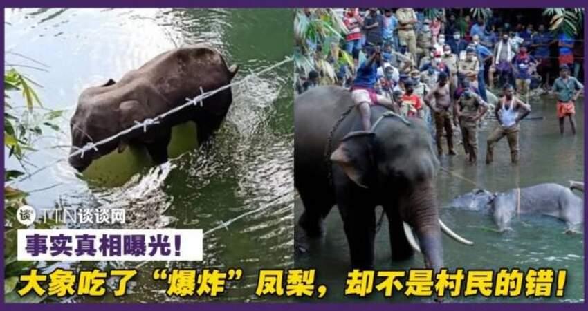 大象吃了「爆炸」鳳梨,卻不是村民的錯!事實真相曝光!