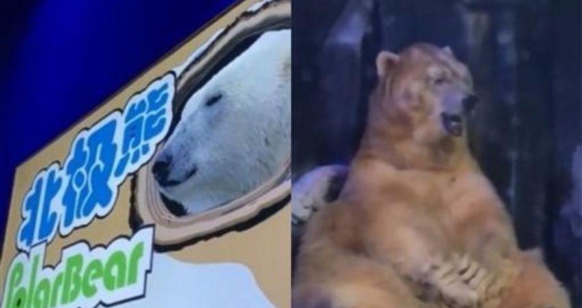 北極熊不在!館抓…代班讓牠冷到狂抖