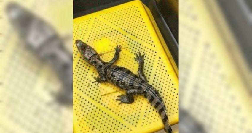 「我的鱷魚跑不見了」 協尋啟事嚇壞南投人