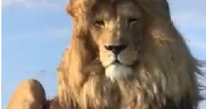 獅子回眸帥翻眾人 網:迪士尼是真的