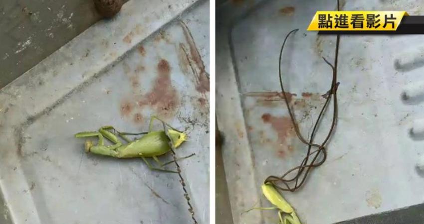 異形入侵?螳螂肚裡竄出無數鐵線蟲 網嚇傻:頭皮發麻