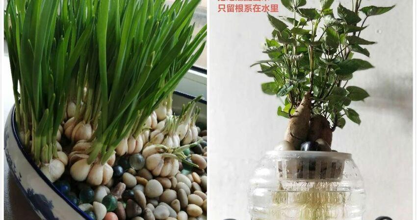 發芽的菜扔水裡,15天長一桶,全家樂開花