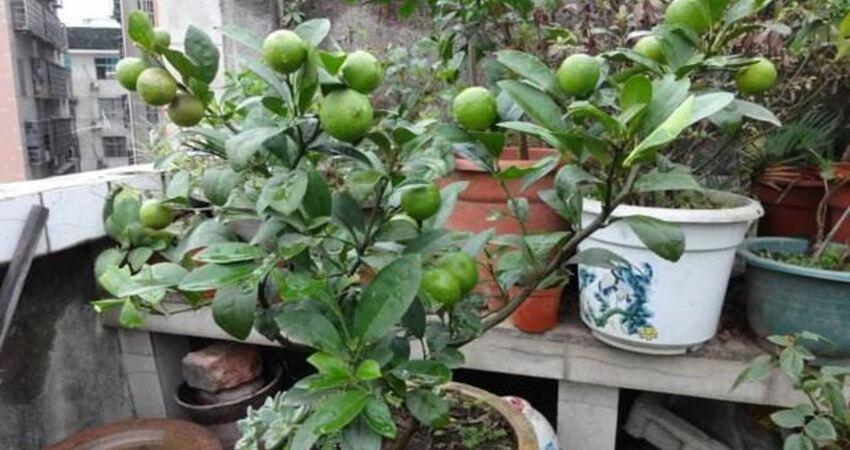 家裡種一株檸檬,清香四溢,關鍵還真能吃!