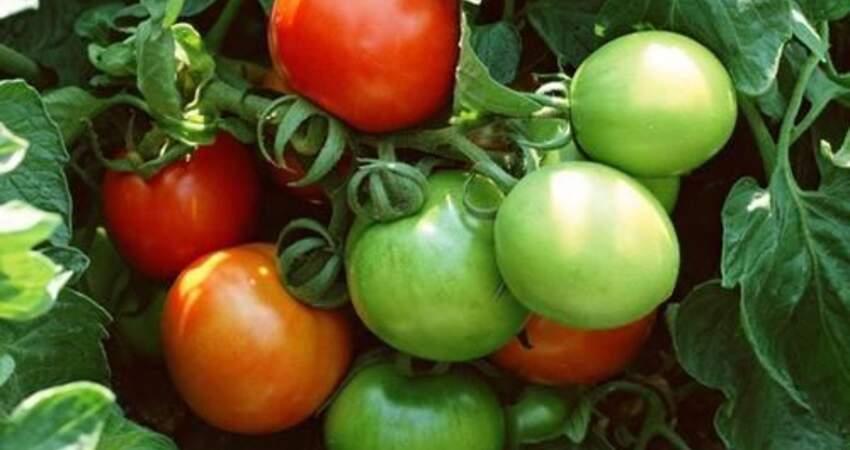 菜市場裡發青的西紅柿能不能買?如果還沒成熟,生吃熟吃都不建議